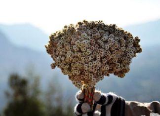 Berikan Bunga Edelweiss Pada Pasanganmu, Ini Mitosnya