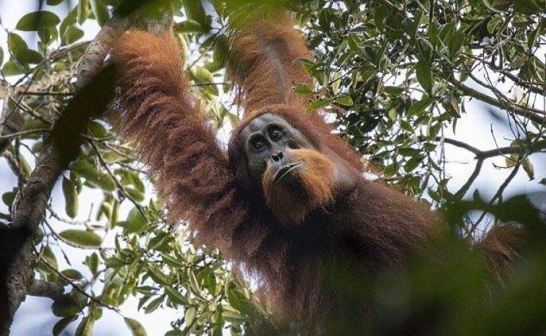 """Sekelompok Spesies Orangutan """"Aneh"""" Diidentifikasi di Sumatra"""