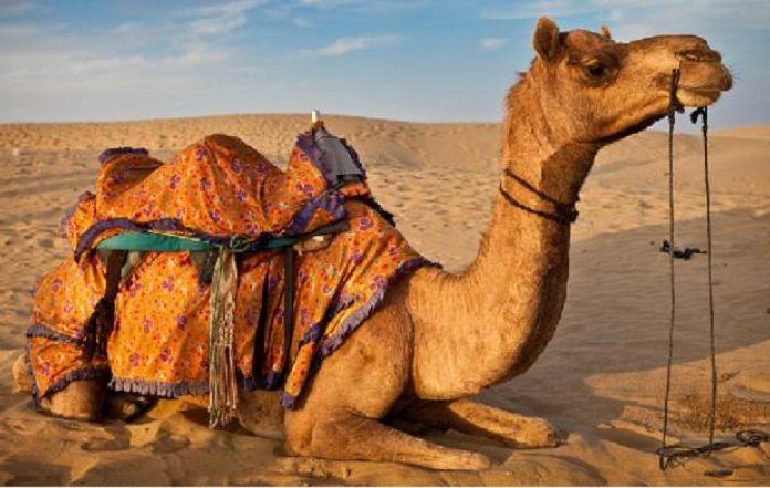 Dubai opens camel hospital thecheapjerseys Choice Image