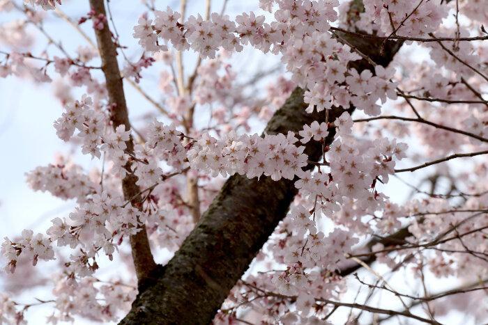 Unduh 52 Koleksi Gambar Bunga Sakura Dari Dekat Gratis