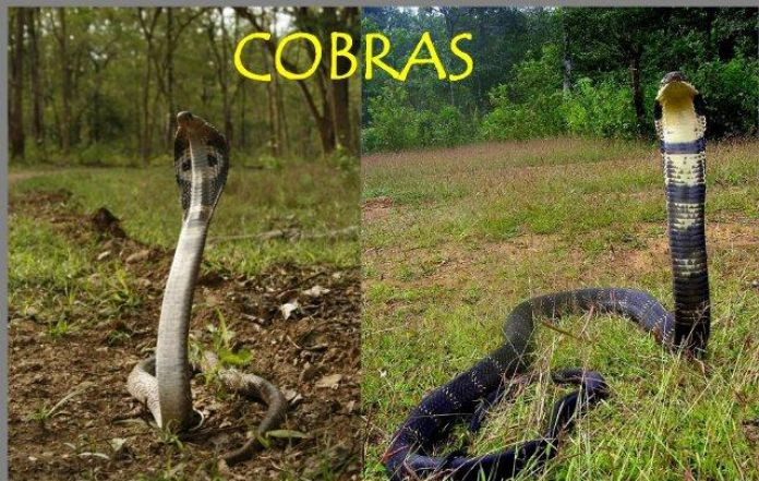 Differences Of Cobra And King