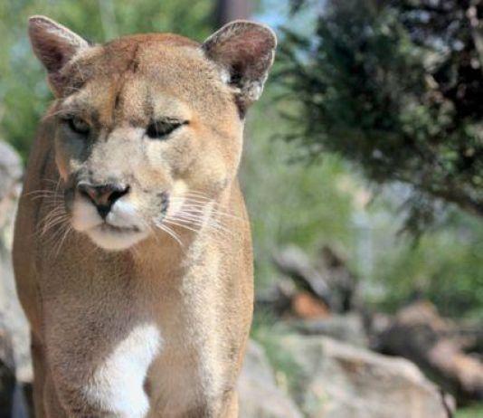 Cougar Ditembak Mati usai Bunuh Pengendara Sepeda AS
