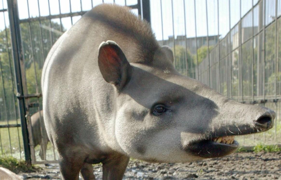 36++ Hewan tapir adalah terupdate