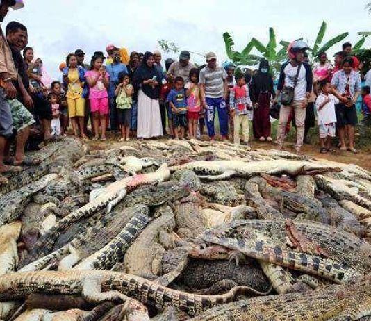 Sugito Tewas Diterkam, Warga Bantai 292 Ekor Buaya di Sorong