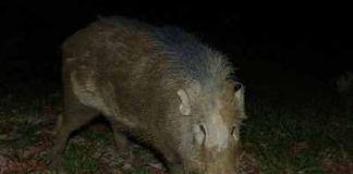 Diserang Babi Hutan di Dalam Rumah, Tiga Luka Parah dan Seorang Nenek Meninggal Dunia