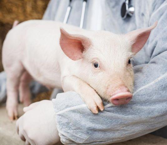 Sebuah Penelitian Ungkap Hati Babi Bisa Ditransplantasi ke Manusia