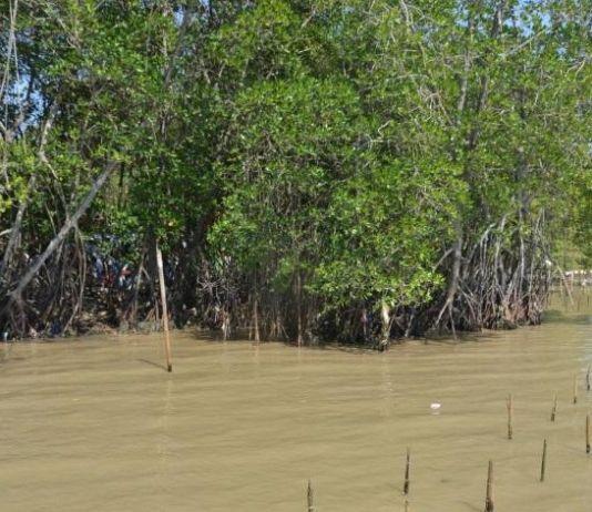 Ratusan Ribu Tanaman Mangrove di Karawang Tercemar Limbah Minyak Mentah