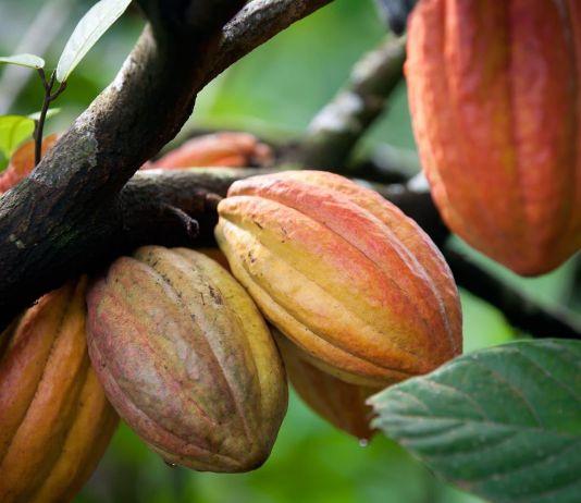Beri Kontribusi Besar ke Perekonomian, Pemerintah Pacu Pengembangan Industri Hilir Kakao