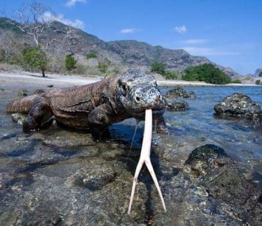 Kunjungan ke Pulau Komodo Dibatasi Hanya 50.000 Wisatawan Setiap Tahun