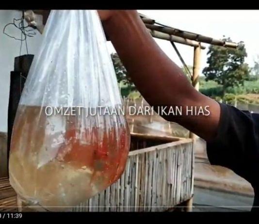 Bisnis Manis Ikan Hias, Seminggu Untung Puluhan Juta