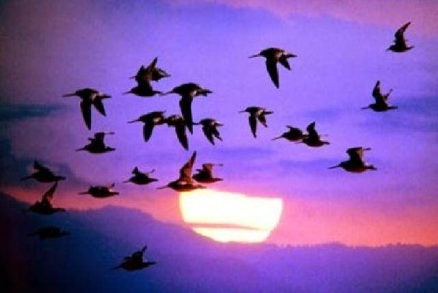Articles on Bird migration
